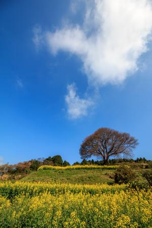 saga: Lonely wild sakura tree in Baba, Takeo, Saga in Japan