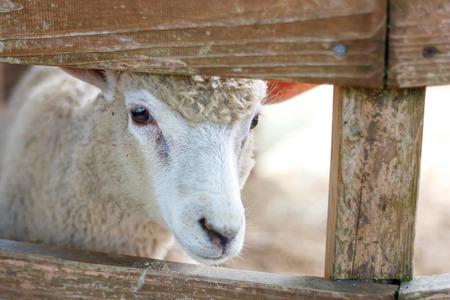 untroubled: Sheep Portrait