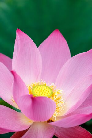 water spring: Lotus