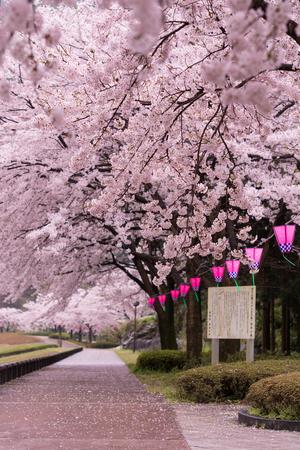 Sakura and Lantern