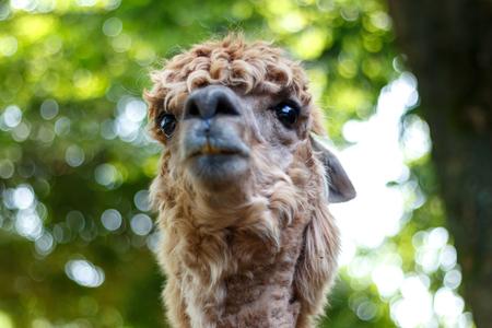 county side: Llama portrait