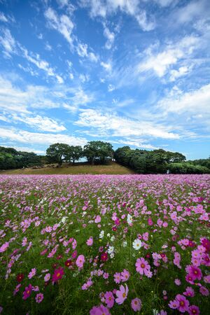 Cosmos flowers in Tenkaihou in Sasebo, Nagasaki, Japan. Standard-Bild