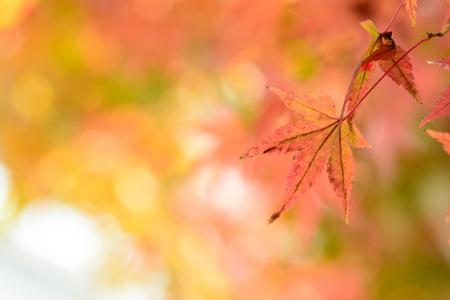 Japanese maple leaf Standard-Bild