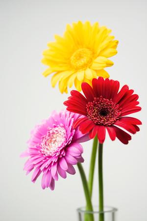 Gerbera flower Standard-Bild