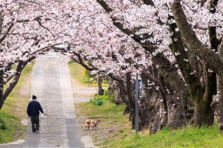 Arch of Japanese sakura blossom Standard-Bild