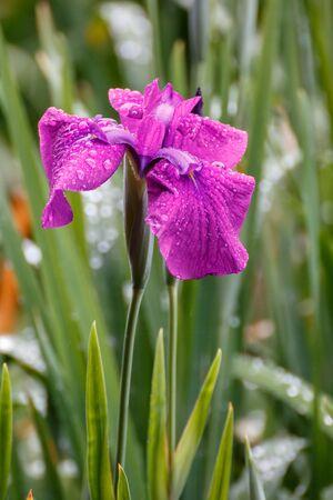 Iris ensata Standard-Bild