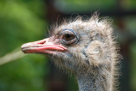 ostrich: Avestruz
