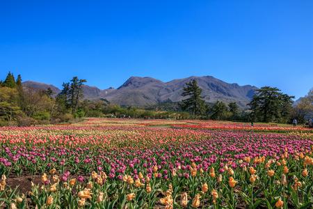 tulipan: Tulip dziedzinie Zdjęcie Seryjne