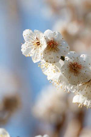 apricot: Japanese apricot