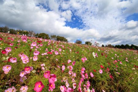 Cosmos flowers at Shirakimine, Isahaya, Nagasaki, Japan