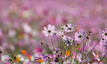 Cosmos flower Standard-Bild