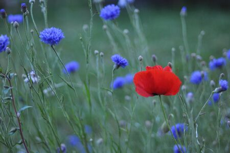 poppy and cornflowers
