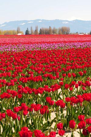 skagit: Tulip field in Skagit Valley, Washington State Stock Photo