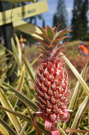 red pineapple  Zdjęcie Seryjne