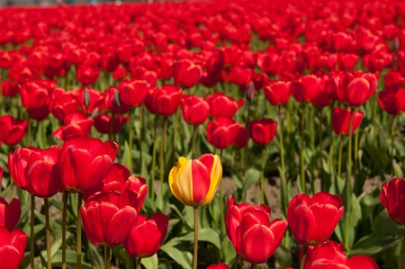 skagit: tulip field in skagit valley, washington state