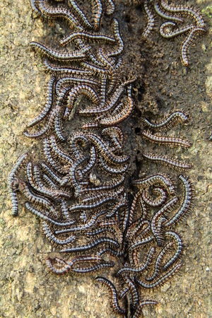 Flock of millipede