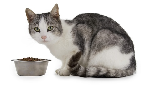 animal feed: Cat eating, cat with food cup, white background.