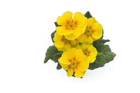 cowslip: Yellow primrose on white background.