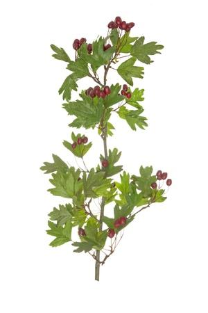 Branch hawthorn, on white background. photo