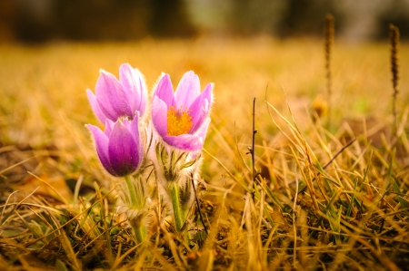 Young pasqueflower in early spring grass during sunset Stock Photo - 25429772