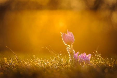 Young pasqueflower in early spring grass during sunset Stock Photo - 25429842