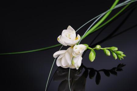Freesia flower isolated on black reflective background Imagens
