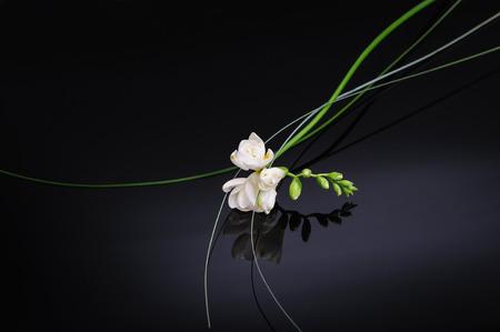 Freesia flower isolated on black reflective background Zdjęcie Seryjne