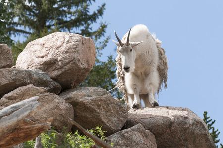 A goat standing still on rocks, staring  straight ahead, his fur shedding. Фото со стока