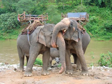 steely: Elephants in love with a tropical river in the back - Thailande.