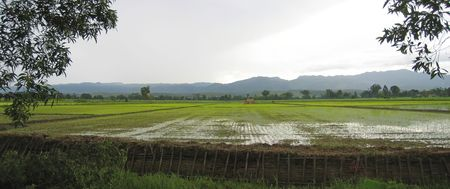 ricefield: Flat ricefield just after the rain - Myanmar.