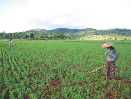 Two farmer women working in a ricefield - Kalaw - Myanmar. photo