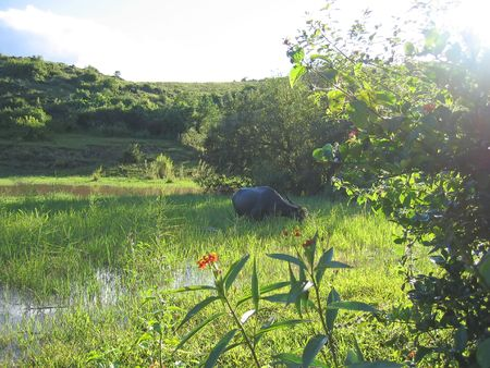 Buffalo in a green swamp with a sunlight - Kalaw - Myanmar. photo