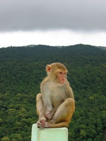 sitted: Monkey sitted on a rock in front a a tropical jungle - Mont Popa - Myanmar. Stock Photo