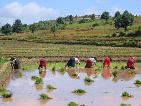 Several farmer women working in a ricefield - Kalaw - Myanmar.