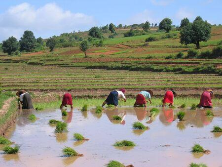 birma: Verschillende landbouwer vrouwen werken in een ricefield - Kalaw - Myanmar.