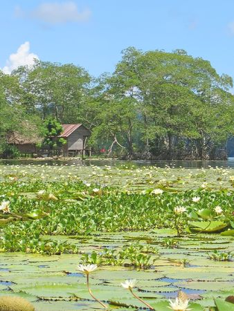 Waterlily on the rio Dulce with a tropical forest - Livingston - Guatemala.