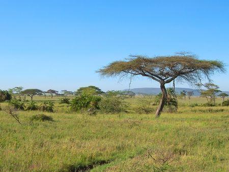 Acacia in the african savanna - Serengeti park - Tanzania.