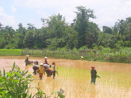 Group of farmer women working in the ricefields for the harvest in the countryside - Phnom Pen - Cambodgia. photo