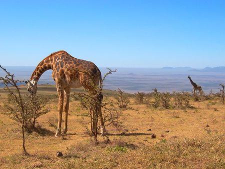 Two wild giraffes - Serengeti park - Tanzania.