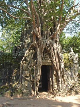 Banyan tree covering entirely an old khmer pyramid temple - Bayon - Angkor Vat temples - Cambodgia.