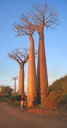 A woman walking with a bucket on his head on a path with very high baobabs - Baobab alley - Madagascar.