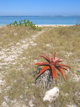 great bay: Aloe flower on the desert with sea in the background - Anakao - Madagascar.