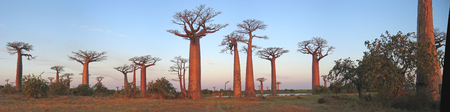 africa baobab tree: Baobabs forest - Baobab alley - Madagascar - Panoramique.