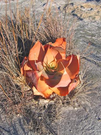 aloe flower: Red aloe flower - Isalo park - Madagascar - Panoramique. Stock Photo