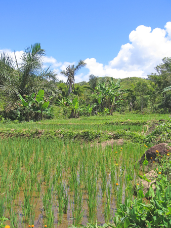 Ricefields - Andapa - Marojejy park - Madagascar. photo