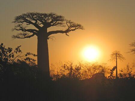 Sundown on the baobab alley - Madagascar.