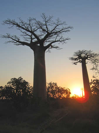 Sundown with two baobabs - Baobab alley - Madagascar. Stock Photo - 1676966