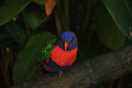 caribbeans: Blue and red tropical parrot in the jungle - Guadeloupe island - Caraibes.