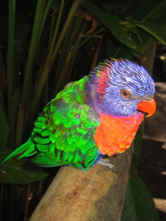 large bird: Green purple and red tropical parrot in the jungle - Guadeloupe island - Caraibes.