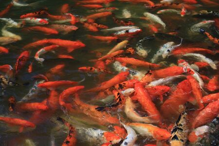 Many red carps in a pond - Guadeloupe island - Caraibes. photo